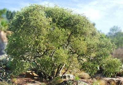 Arbuste jojoba