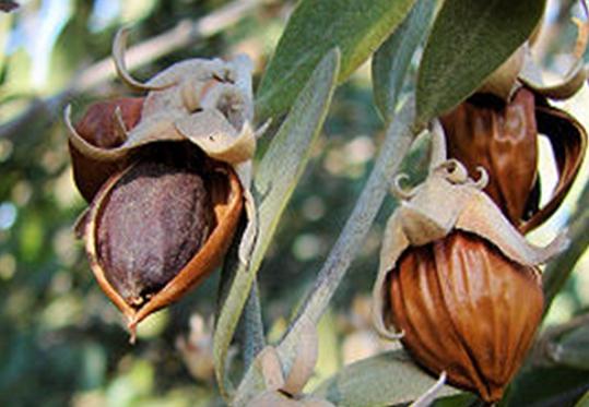 Huile de jojoba : les graines