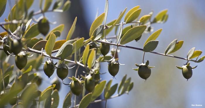Huile de jojoba, un après-soleil réparateur naturel