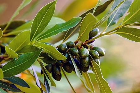 Huile essentielle laurier noble feuilles et fruits