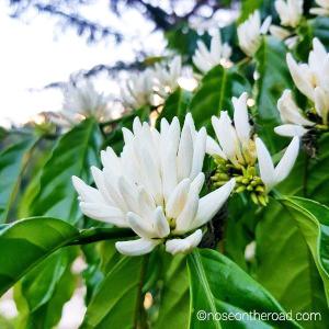 Fleur de caféier –Madagascar – noseontheroad