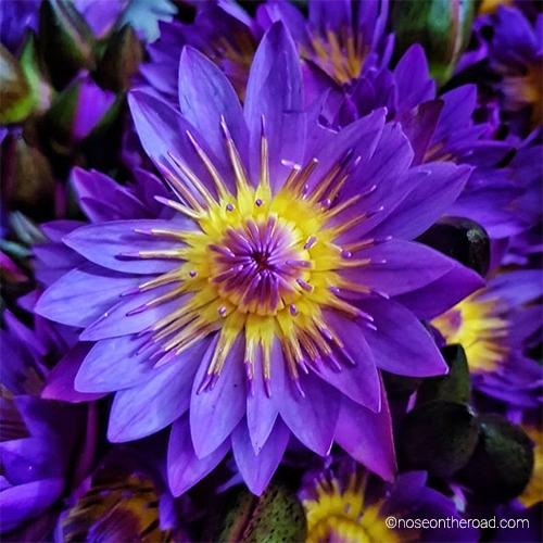 Lotus bleu –Sri Lanka –noseontheroad