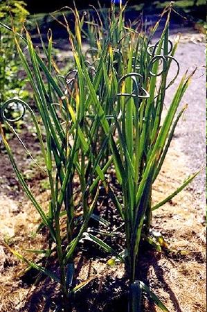 Allium sativum-Ail