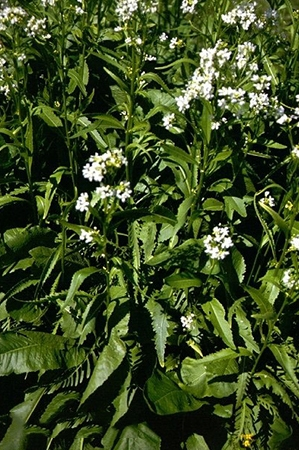 Armoracia rusticana-Raifort