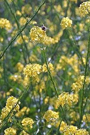 Brassica nigra-Moutarde
