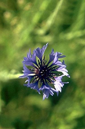 Centaurea cyanus-Bleuet