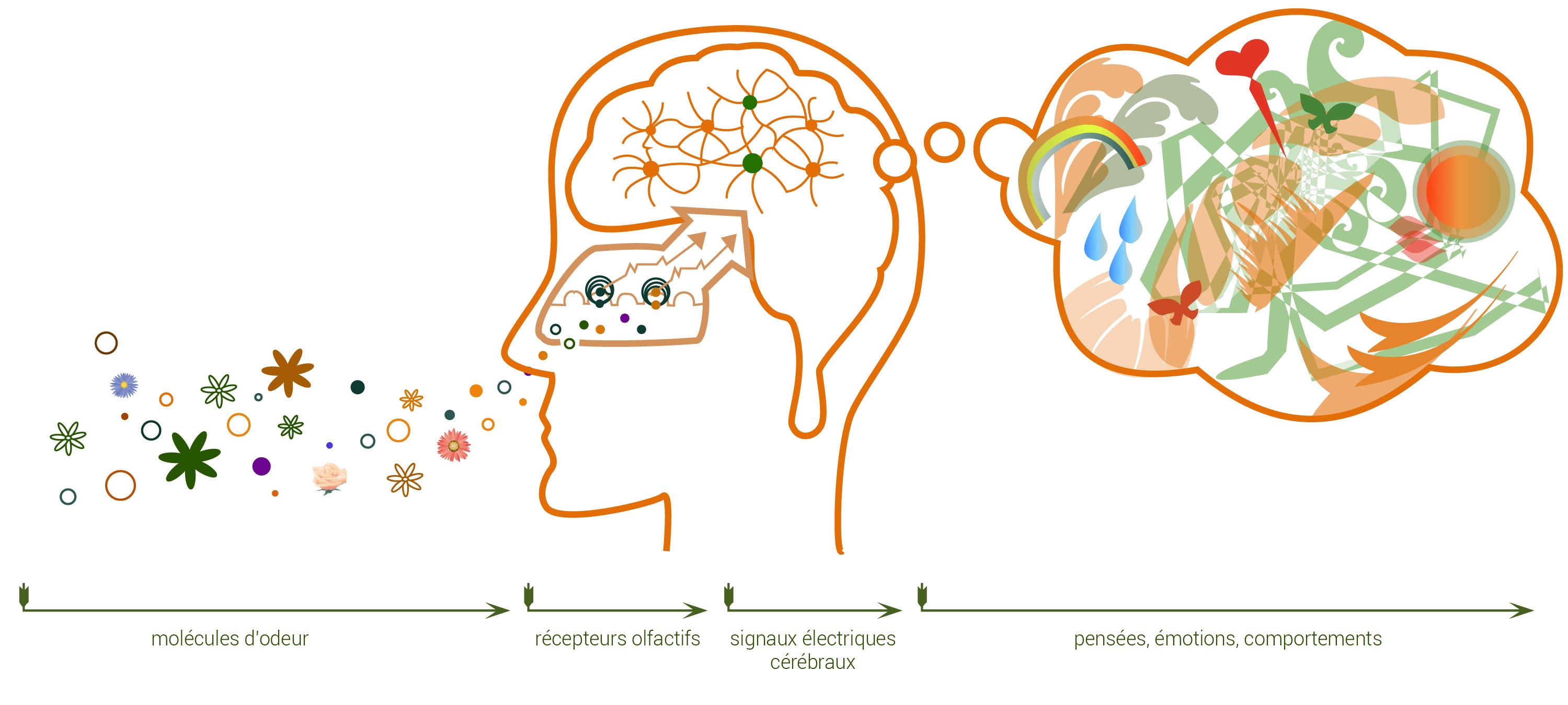 Cheminement des molécules – odeurs