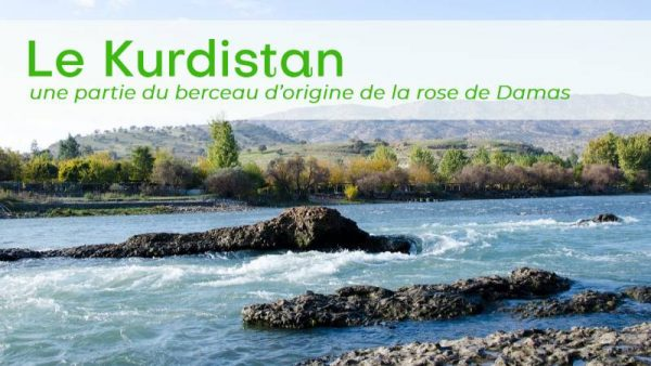 Kurdistan et rose de Damas