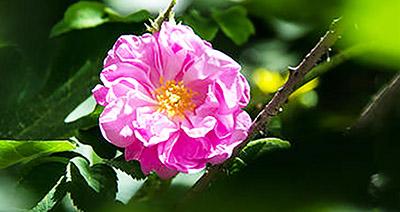 Rose de Damas et saint-valentin