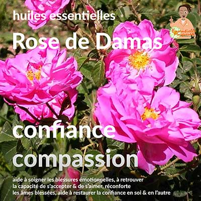 Rose de Damas : aromathérapie énergétique